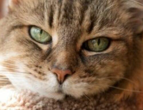 Holistic Thoughts on Feline Chronic Kidney Disease – Podcast