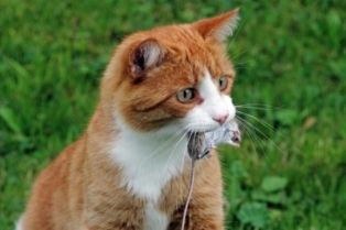 A picture of a cat with a mouse in its mouth